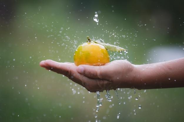 Закройте вверх садовника держа и мыть апельсины в руке с каплей воды и всплеск воды в саду поля апельсинов в утреннее время.