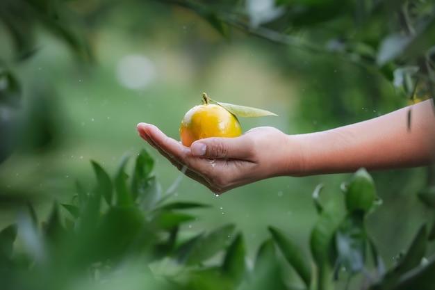 Закройте вверх садовника держа и мыть апельсины в руке с каплей воды и влажной рукой в саду поля апельсинов в утреннее время.