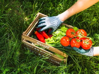 Close-up of gardener keeping fresh vegetables in wooden crate