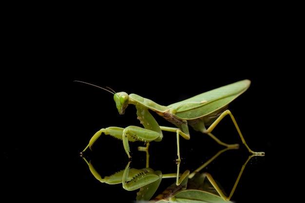 巨大なアジアの緑のカマキリのクローズアップ