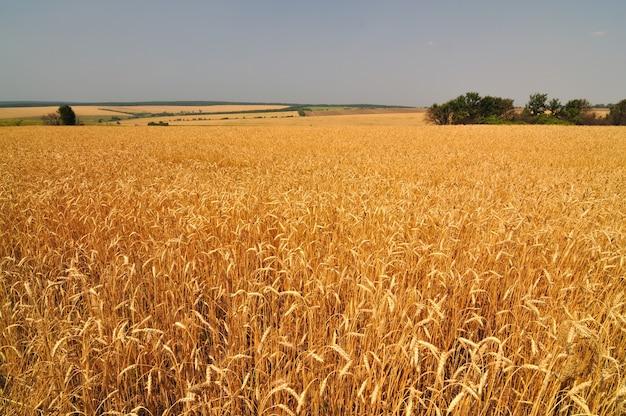 晴れた夏の晴れた日の黄金の小麦のスパイクのクローズアップ
