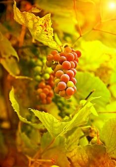 Крупным планом винограда в солнечных лучах