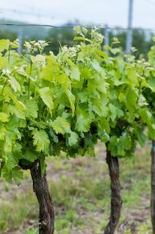 Крупным планом виноград весной