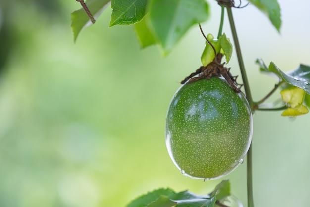 自然の中で成長している緑のナスのクローズアップ