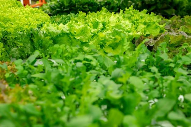 온실에서 다른 종류의 채소와 함께 자라는 녹색 곱슬 꽃의 클로즈업