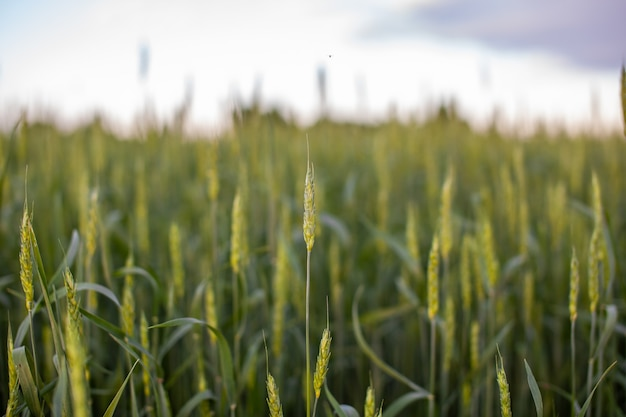 밀 또는 호밀의 녹색 귀의 클로즈업 필드에서 일몰. 농장 토지 가을 장면 배경에서 일몰과 함께 세계 글로벌 음식. 행복한 농업 시골.