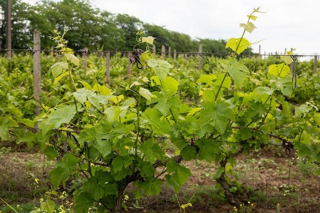 여름에 녹색 포도 잎, 포도밭, 오데사 지역, 샤보