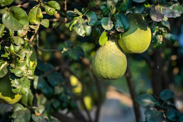정원 배경의 자몽 나무에서 자라는 녹색 자몽의 클로즈업 감귤류 과일 태국을 수확합니다.
