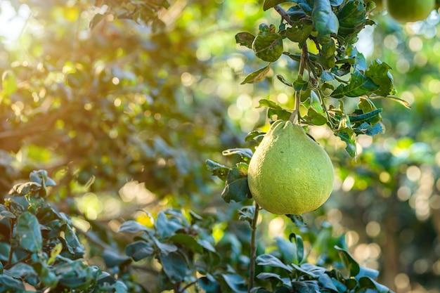 緑のグレープフルーツのクローズアップは、庭の背景の収穫柑橘系の果物タイのグレープフルーツの木で育ちます。