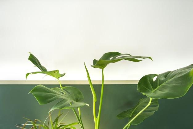 白と緑の壁のミニマルスタイルの室内装飾の緑の屋内観葉植物のクローズアップ...