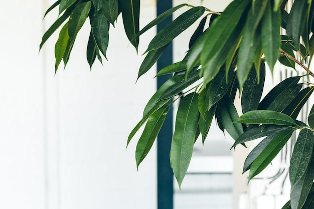 白い壁、室内装飾の緑の屋内植物のクローズアップ