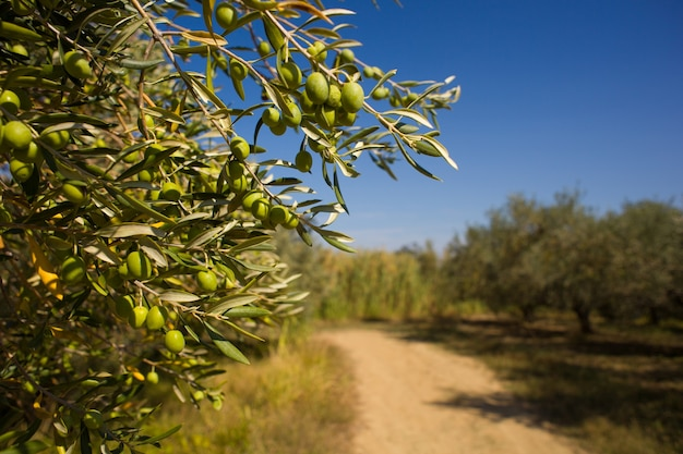 枝の上の緑のイストリアオリーブのクローズアップ