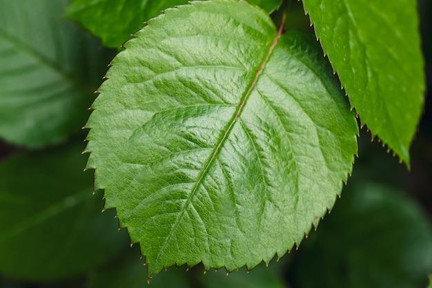 緑の葉のクローズアップ、葉の背景。マクロ写真。明るい質感、春や夏の壁紙のコンセプト。