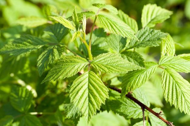 숲이나 정원에서 라즈베리 또는 블랙 베리의 녹색 잎의 근접 촬영