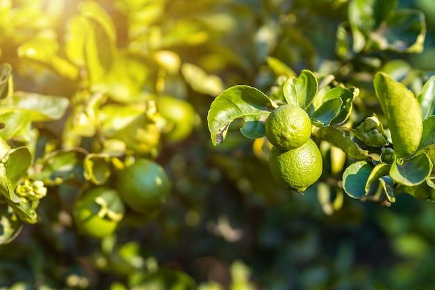 緑のレモンのクローズアップは、庭の背景の収穫柑橘系の果物タイのレモンの木で育ちます。