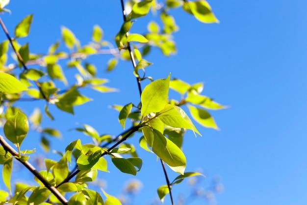 Крупный план зеленых листьев липы весной, на заднем плане голубое небо