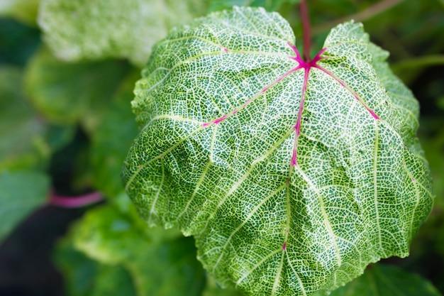 庭の茎に生えている緑のオクラの鞘の拡大図。植物の大きな葉。