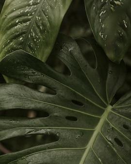 녹색 분할 잎 필로덴드론의 클로즈업