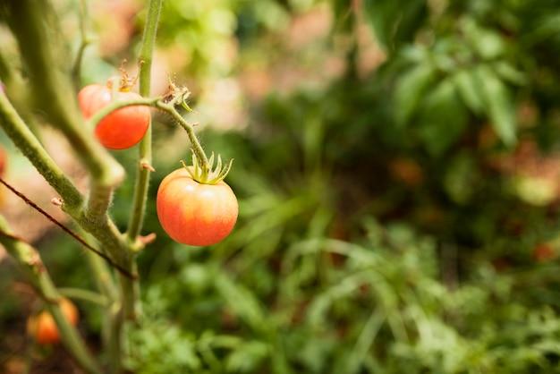 枝に成長している赤いトマトのクローズアップ