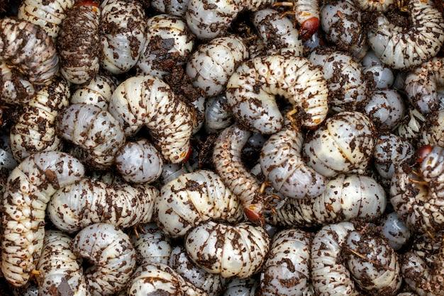 グラブワーム、ココナッツサイカブトのクローズアップ