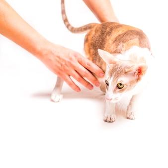 Крупный план рука, держащей cornish rex кошка, стоя на белом фоне