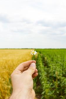 手とデイジーの花、ひまわりと小麦のフィールドのクローズアップ