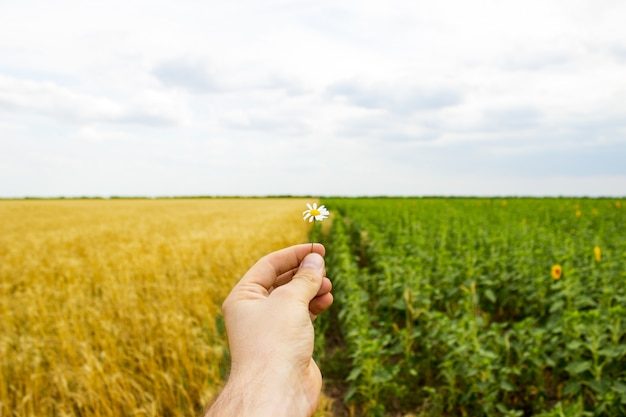 手とヒマワリのフィールドのデイジーの花のクローズアップ