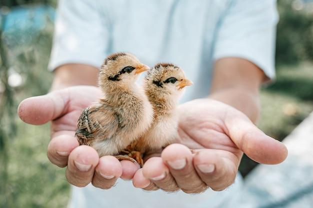 Крупным планом руки, держа маленьких новорожденных цыплят