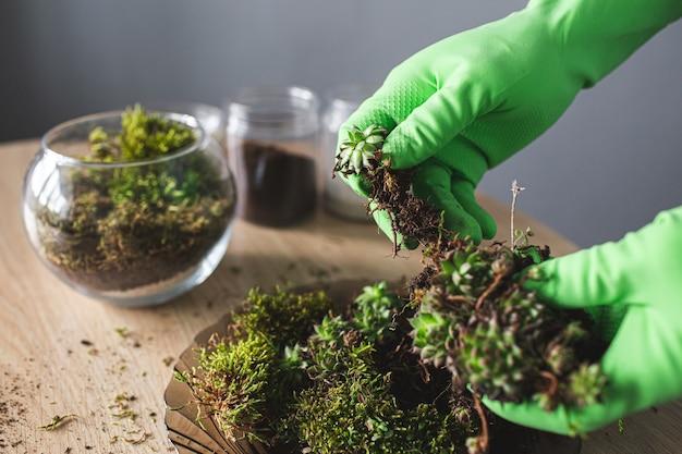 Крупным планом руки в перчатках берут суккуленты для пересадки в вазу.