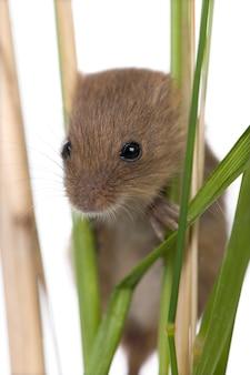 Крупный план урожая мыши, micromys minutus, восхождение на травинку