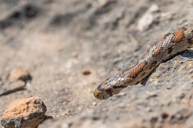 몰타에서 성인 표범 뱀 또는 유럽 쥐뱀, zamenis situla의 머리 닫습니다