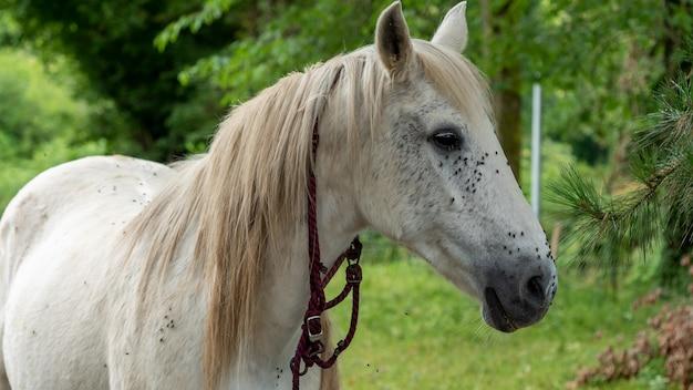 白い馬の頭のクローズアップ