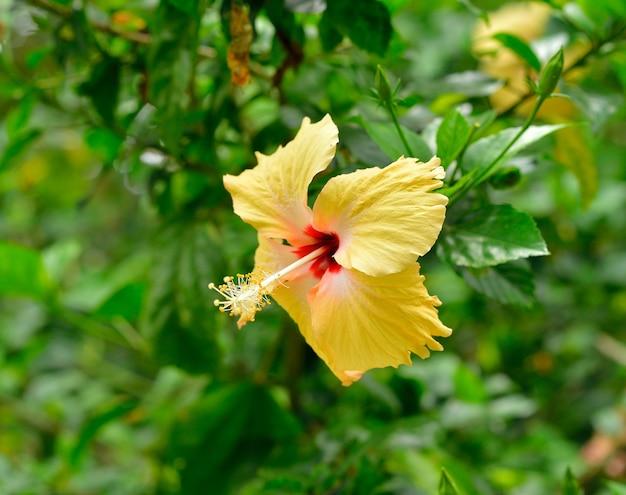 히비스커스로 사 sinensis 꽃의 클로즈업