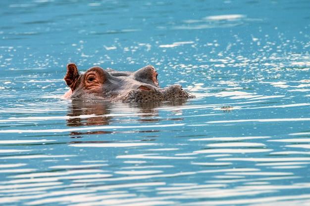 水の中のカバのクローズアップ