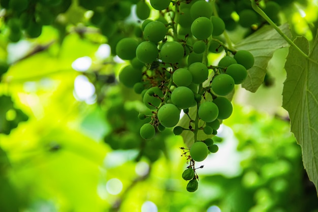 Крупный план домашнего винограда.