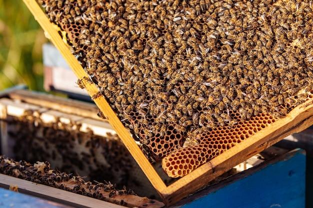 Крупным планом - медоносные пчелы (apis mellifica), собравшиеся в кучу на деревянной раме, видны раскрытые восковые соты, полные и блестящие нектаром.