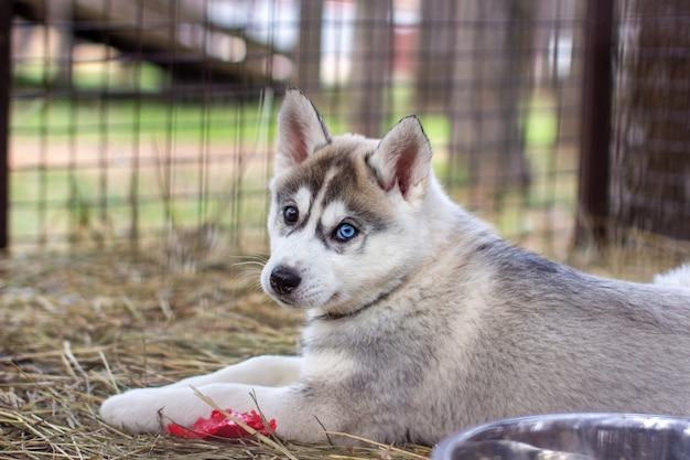檻の中にいて見ているハスキー犬の子犬のクローズアップ。動物保護施設の檻の中の孤独な犬