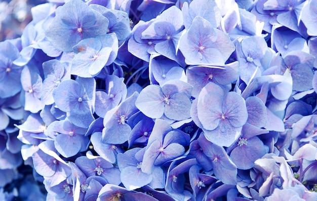 Крупным планом цветок гортензии, утренний цветок