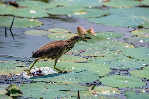Заделывают индийской цапли пруд с кувшинками