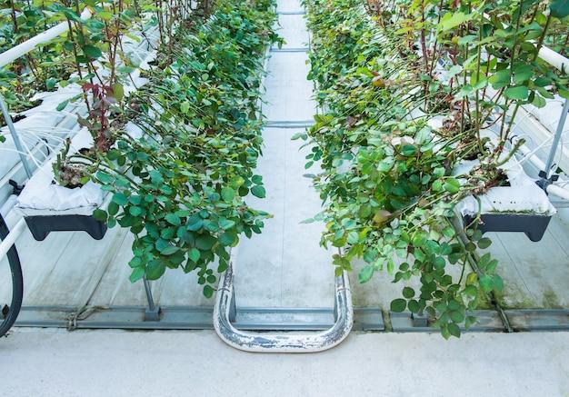 온실에 있는 관개 침대의 클로즈업입니다. 장미 재배를 위한 산업용 온실