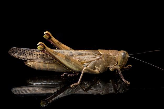 자바어 메뚜기의 클로즈업