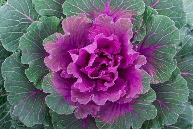 물결 모양의 잎을 가진 큰 다채로운 동양 분홍색 양배추의 닫습니다.