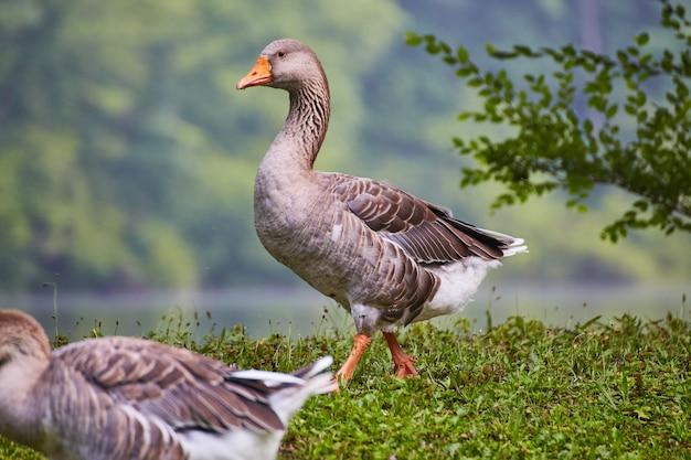 Крупный план большой утки с оранжевым клювом рядом с водой на зеленой траве