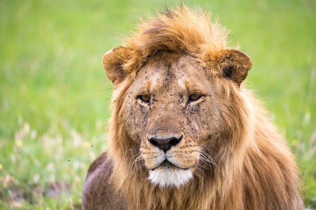 Крупным планом льва, отдыхающего на природе