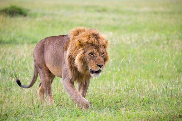 Крупным планом льва, идущего на природе
