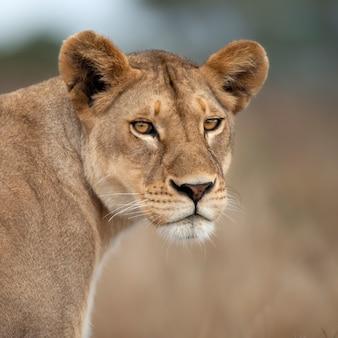 Крупный план львицы в серенгети, танзания, африка