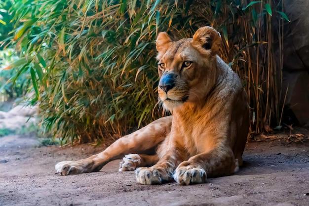 Крупным планом львица, лежащих на земле
