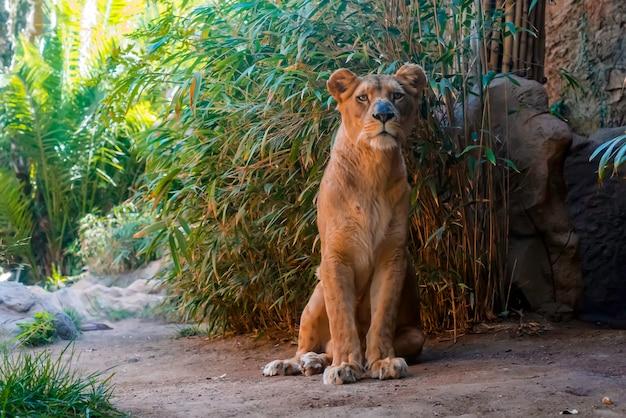 Крупным планом львица сидит на земле
