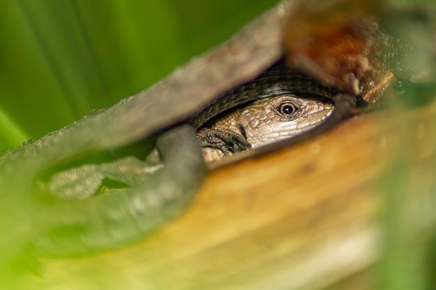 トカゲ爬虫類のクローズアップ