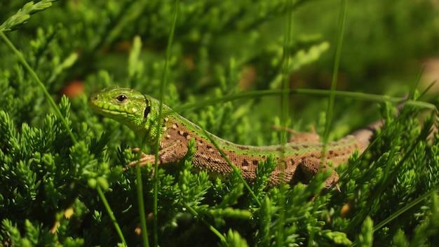 녹색 잔디에 앉아 도마뱀의 클로즈업